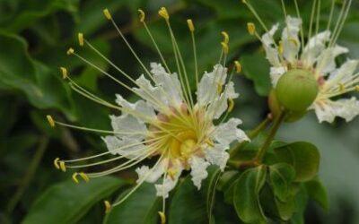 Pacari ou Dedaleiro… um remédio por natureza