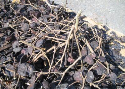 Fruto de Timbaúva. Foto: Arquivo Apremavi.