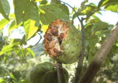 Fruto de Cortiça-lisa. Foto: Arquivo Apremavi.