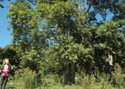 Árvore adulta de Cortiça-lisa. Foto: Arquivo Apremavi.