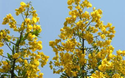 Pau-Cigarra, esplendorosamente amarelo