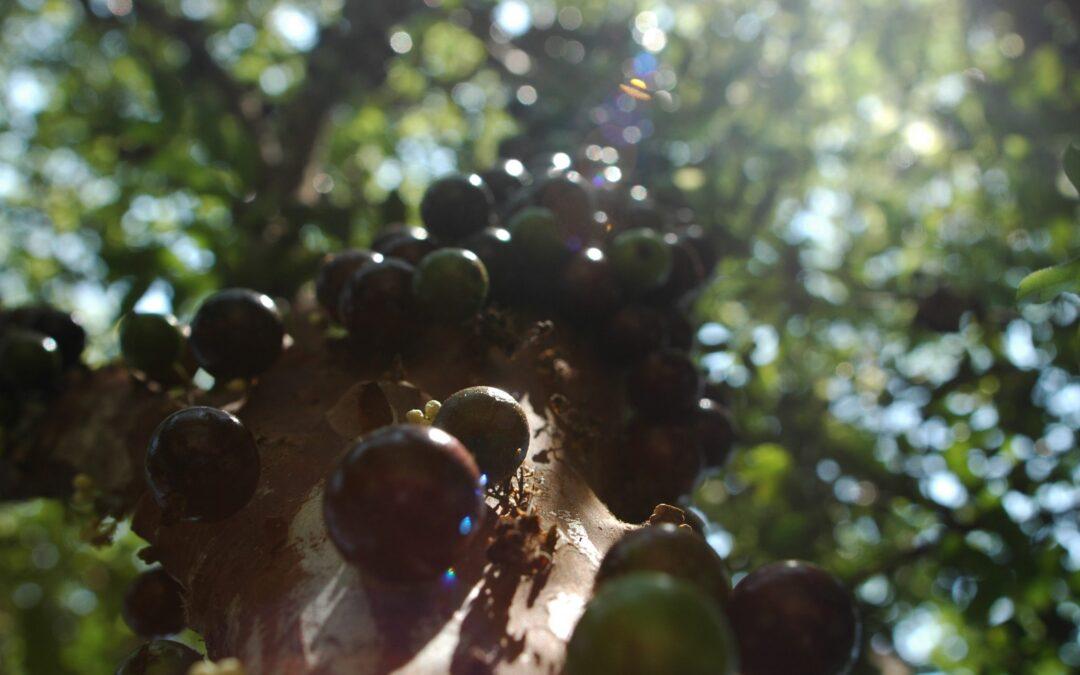 Jaboticaba, uma fruta nota mil