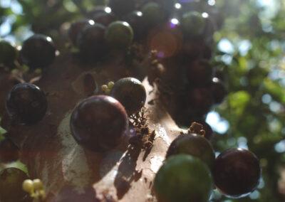 Fruto de jaboticaba. Foto: Carolina Schaffer.
