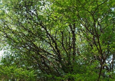 Árvore de jaboticaba. Foto: Carolina Schaffer.