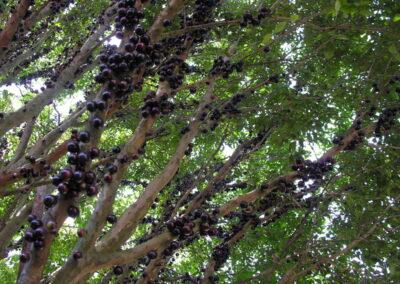 Árvore em frutos. Foto: Miriam Prochnow.