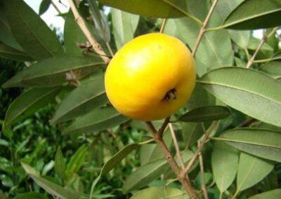 Fruta de Uvaia. Foto: Arquivo Apremavi.