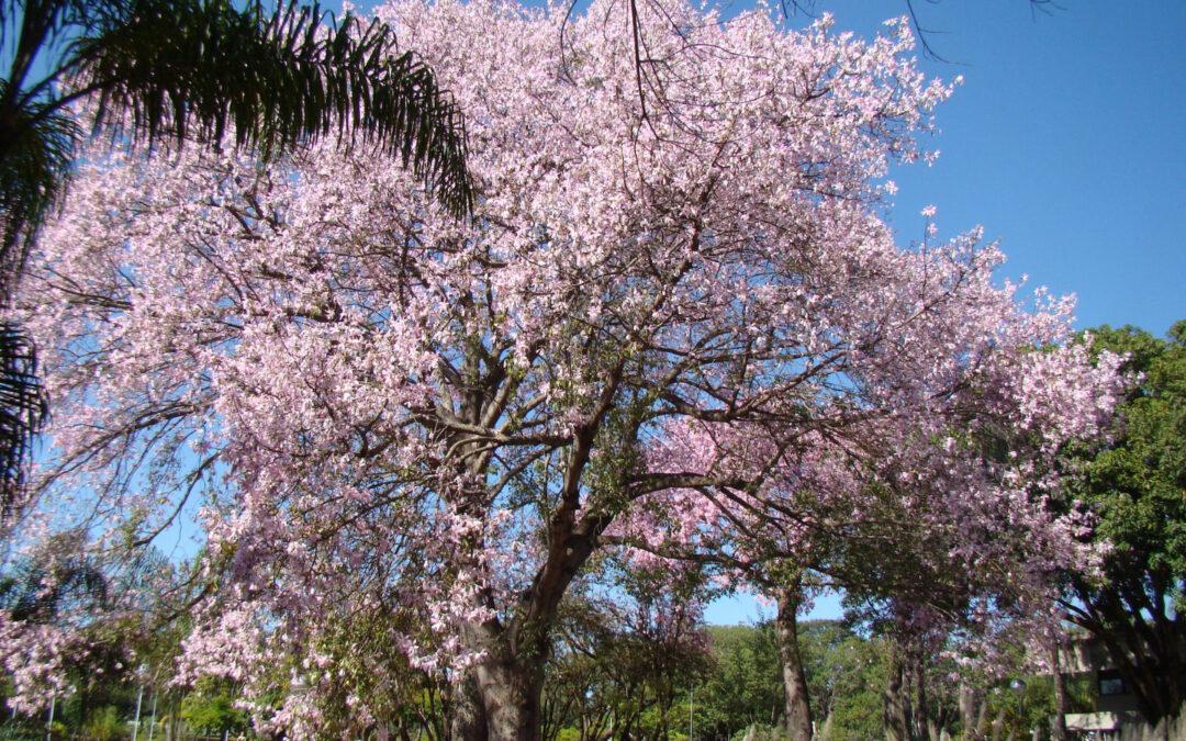 Paineira-rosa, uma beleza singular