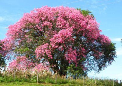 Árvore de Paineira-rosa em flor. Foto: Arquivo Apremavi.