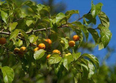 Fruto de Guabiroba. Foto: Acervo Apremavi.