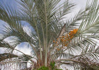 Palmeira da Mata Atlântica