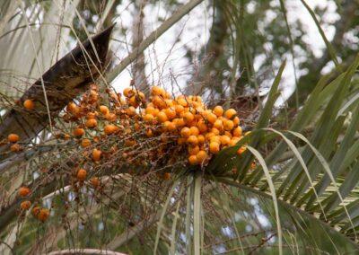 Cacho de frutos de Butiá