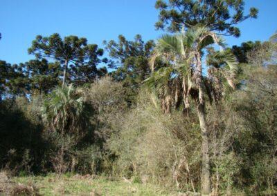 Palmeira na floresta