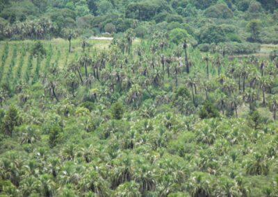 Butiá na floresta