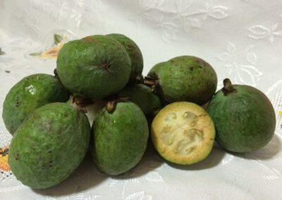 Fruto de Feijoa. Foto: Luiz Otavio Dick.