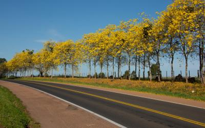 Ipê amarelo. A cor dourada do Brasil.