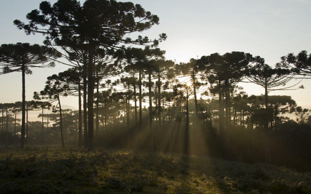 Sua majestade: o Pinheiro Brasileiro