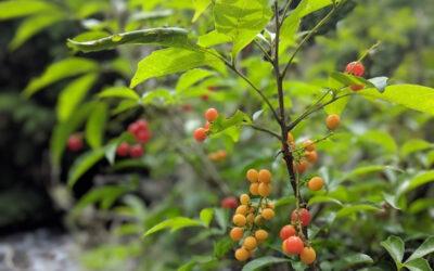 Chal-chal, a árvore preferida dos bichos