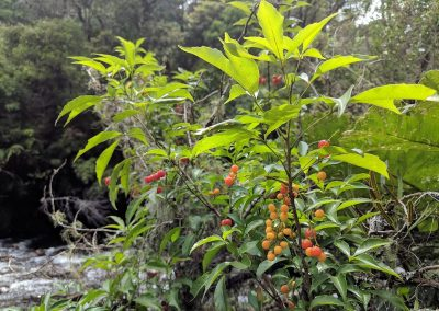 Frutos de Chal-chal em amadurecimento. Foto: Carolina Schäffer.
