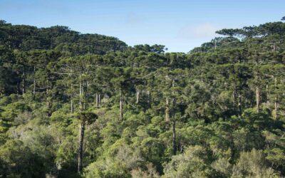 Araucaria angustifolia: uma análise da espécie sob o viés da história ambiental global