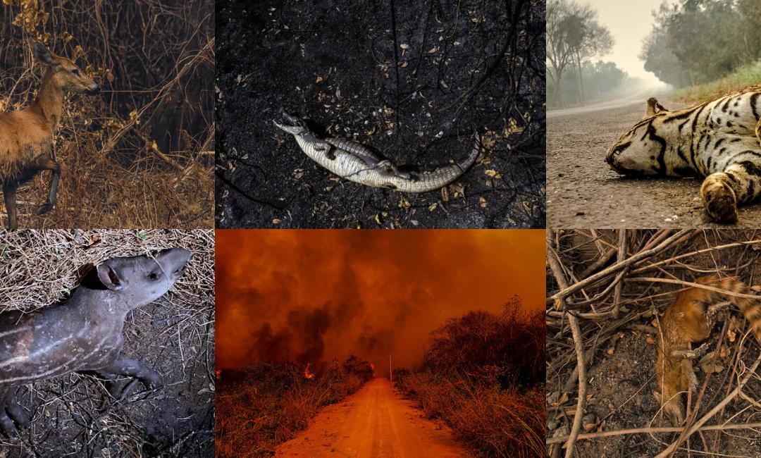LUTO pela vida que se foi nas chamas que ainda queimam o Pantanal
