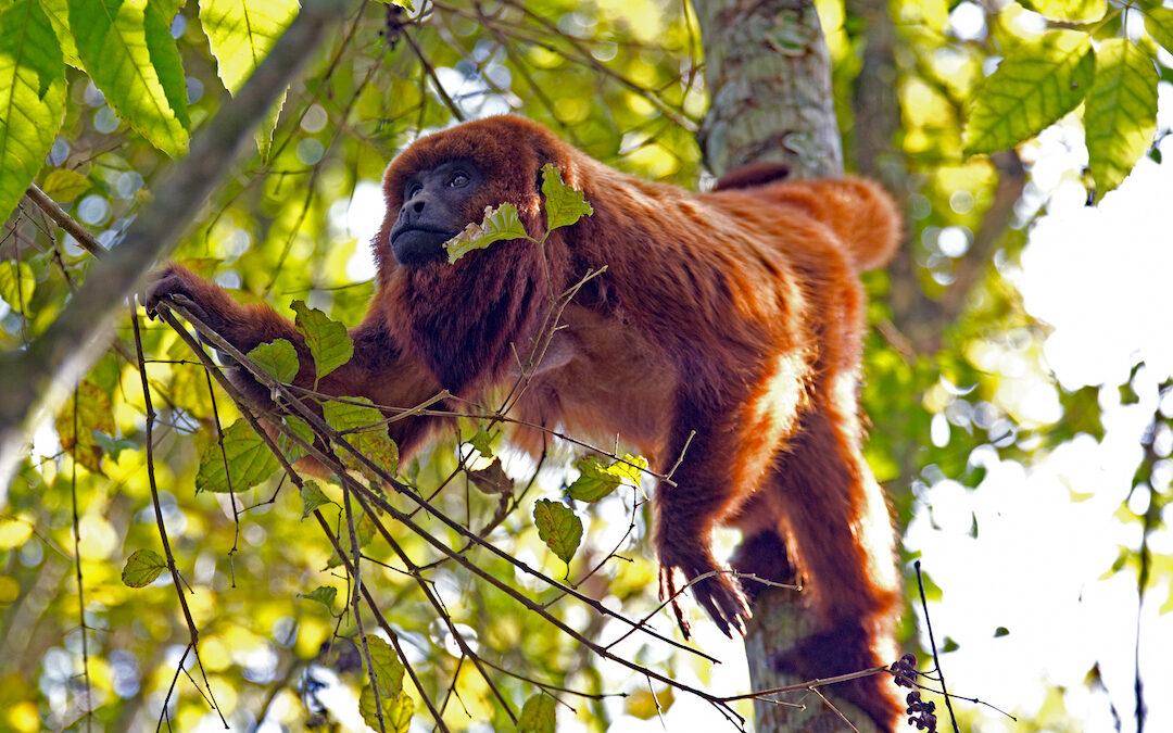 Mortandade de macacos em Atalanta preocupa ambientalistas
