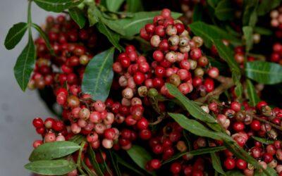 Aroeira-vermelha, uma pimenta aromática do Brasil
