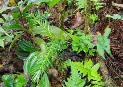 Araucária germina em meio a floresta