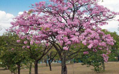 Ipê-rosa, o rei da primavera