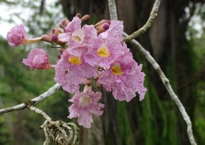 Flor do Ipê-rosa
